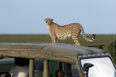 Car hopping Cheetah (MAC's Wild Pixels) Tags: female kenya cheetah masaimara goldwildlife femalecheetah naturesgreenpeace malaikathecheetah macswildpixels