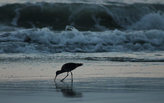 The Early Bird Gets The... (sgribbin) Tags: ocean bird beach nature canon outdoors surf waves wildlife t3 mygearandme mygearandmepremium dailynaturetnc12