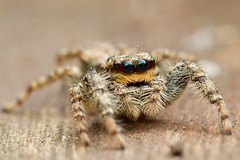 Explored :).         .oo. (BJSmit) Tags: macro home canon spider jumping europe arachnid spin thenetherlands explore 7d spinne araa jumpingspider arthropoda araigne arachnida ragno aranha zuidholland gorinchem springspin kenko marpissa salticidae springspinne 100l canon100mm explored marpissamuscosa schorsmarpissa eos7d canon7d rindenspringspinne smitbj canonef100mmf28lmacroisusm canon100mml canon100mmmacrof28l bjsmit groserindenspringspinne
