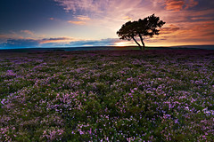 Lone Tree In Heather, North Yorkshire Moors - Explored 28/08/12 (mark_mullen) Tags: uk england english clouds landscape dusk heather whitby bigsky colourful northyorkshire lonetree moorland heathland canon1740f4 egtonbridge northyorkshiremoors egton canon5dmk3 markmullenphotography
