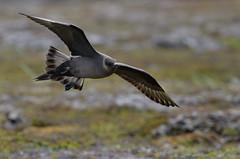 Arctic Skua (Ronnie798) Tags: norge skua arcticskua varanger kustlabb fåkel