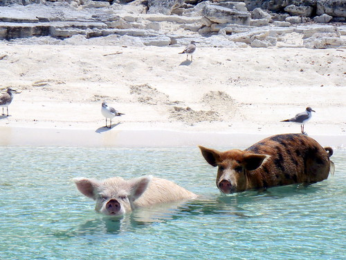 08.2012 Vorobek Bahamas - swimming pigs by cdorobek, on Flickr