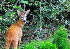 Roedeer in the garden (Terje Hheim (thaheim)) Tags: nature horizontal outdoors nikon day wildlife roedeer rdyr d90 70200mmf28gvrii beautyinnature oneanimal animalthemes