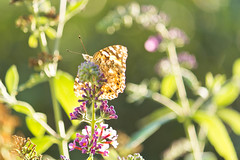 Layover (minkylina) Tags: summer canon butterfly insect buddleia august dslr butterflybush 2012 paintedlady 60d 55250is