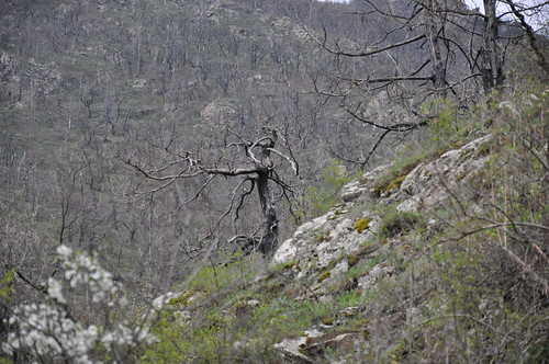 Burned juniper forest in Kapan
