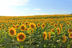 Sunflowers (beverly underwood) Tags: flowers summer flower field yellow gold golden maryland sunflowers sunflower helianthus