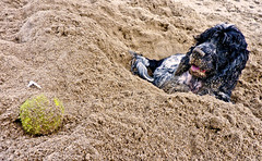 Ball in Sand - Dog in Hole (Photo Gal 2009) Tags: dog pet wales ball fun sand westwales otis sandy canine cockerspaniel tennisball wetdog blueroan welshcoast tresaith sandydog welshbeach welshseaside walesseaside welshresort westwalesbeach highqualitydogs highqualityanimals walesresort