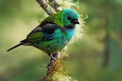 Tangara seledon (Techuser) Tags: morning green bird nature animal rainforest colorful ave mata passaro atlantica intervales thraupidae canon7030056is