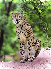 _DSC8246 (aries_270377(Rajesh)) Tags: cheetah hyderabad neem nehruzoologicalpark photographedinzoo
