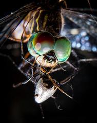Eye See U (JEm / DoWnUnDeR iN BoStOn) Tags: macro look closeup canon bug insect spider close dragonfly arachnid tubes insects bugs explore upclose strobe flashes dualflash macrotubes 5dii canon5dii trinityshot trinityshotphotography wwwjamieharbourcom