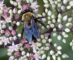 sedum supper (Shotaku) Tags: pink flowers summer flower garden bees insects bee sedum perennial 2012 blooming