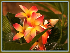 DSC08224 (Cliff's Photography, Welcome to my stream!) Tags: blue red orange plant green beautiful yellow port plumeria hawaiian tropical burwell