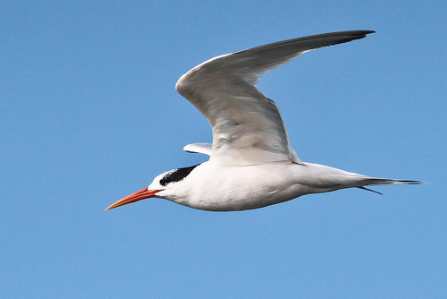 "<p>I end this slide show with a very elegant pose from an Elegant Tern. One of the things I like about seabirds is their shapes, their ""lines"", and how graceful they can appear as they fly over our ocean. </p>"