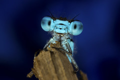 Damselfly - As seen on BBC Nature Website (Muzby1801) Tags: above family blue autumn summer hairy baby colour detail macro eye nature beautiful up canon insect lens creativity spider photo interestingness spring fight amazing nice interesting eyes funny close wasp cross dragonfly wildlife ant extreme watch great bugs 100mm best frog sharp bee bbc tiny crop times 28 manual common popular lifesize damselfly armour emerald mimic antenna hoverfly sensor damselflies hairs polarization 4x stacker mpe 65mm 3x springwatch 5x photostack zerene 60d countryfile macrolife