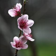 Blossom Magic, Adelaide_2902_2 (Rikx) Tags: pink flower garden blossom adelaide backlit southaustralia nectarine fruittree