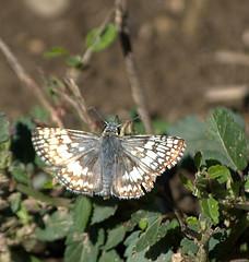 Common Checkered-Skipper 230.NEF (Henryr10) Tags: brown white butterfly picnic cincinnati small littlemiamiriver hesperiidae bmna pyrguscommunis commoncheckeredskipper pyrgus pyrginae ottoarmlederpark armlederpark ottoarmledermemorialpark hamiltoncountyparkdistrict