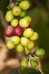 Coffee Beans Growing on the Tree (pixelish) Tags: red tree green coffee yellow hawaii beans raw drink farm cluster harvest vine fair roast plantation hawaiian tropical bunch trade