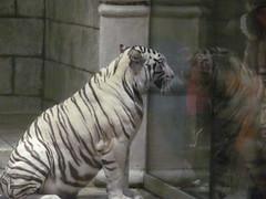 IMG_0600 (kelli.bergin) Tags: marina texas tiger houston whitetiger houstontexas downtownaquarium