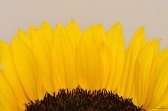 Sunflower Study (masimage) Tags: plant abstract flower art yellow fauna garden petals flora perfect seed surreal seeds petal sunflower