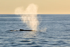 Gulf of Maine, USA, 2012 (marc_guitard) Tags: ocean park sunset usa water america mammal nikon gulf wildlife united breath maine atlantic national massive huge whale states humpback nikkor f28 acadia waterspout 80200mm d300