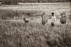 Rice Harvest _0657 (hkoons) Tags: ranch plants india field yellow rural workers flora rice paddy farm farming straw soil dirt crop crops aggie padi agriculture assam centralasia chaff jorhat bundles implements sivasagar upperassam ahomkingdom