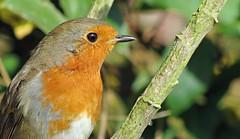 Garden Robin (Rob Felton) Tags: bird robin garden bedford erithacusrubecula bedfordshire perch felton cardington robertfelton