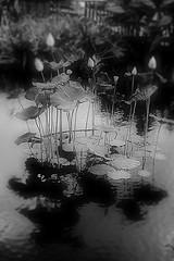 Lotus in B&W