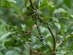Southern Hawker (Mature Male) (ukstormchaser (A.k.a The Bug Whisperer)) Tags: southern hawker hawkers uk dragonfly dragonflies fly flies insect insects wildlife milton keynes animal animals july afternoon bush male macro