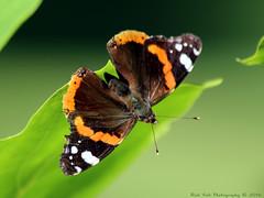 Red Admiral / Atlanta (Rick & Bart) Tags: sintlambrechtsherk hasselt garden tuin nature rickvink rickbart canon eos70d insect butterfly vanessaatalanta atlanta admiraalvlinder redadmiral macro gnneniyisi thebestofday