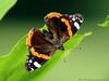 Red Admiral / Atlanta (Rick & Bart) Tags: sintlambrechtsherk hasselt garden tuin nature rickvink rickbart canon eos70d insect butterfly vanessaatalanta atlanta admiraalvlinder redadmiral macro gününeniyisi thebestofday