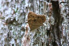 Buckeye ? (tripod_treker) Tags: butterflys flyinginsects trees bark ef70300mmf456isusm canon70d