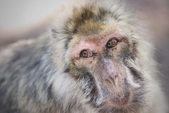 Magot Ape Look - Montagne des Singes - Alsace (France) (Rogg4n) Tags: portrait france nature animal forest monkey eyes bokeh head wildlife alsace ape furs singe macaque magot barbarymacaque kintzheim macacasylvanus montagnedessinges canoneos100d sigma50100mmf18dchsm