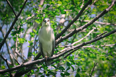 Black-crowned Night-Heron (A Great Capture) Tags: nycticorax blackcrowned nightheron bird nocturnal grey perch black cap white plume ciconiiformes nature ardeidae wetlands forested swamps agreatcapture agc wwwagreatcapturecom adjm toronto on ontario canada canadian photographer ash2276 ashleylduffus ald mobilejay jamesmitchell summertime 2016 spring ig
