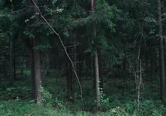 forest (Mary Shepareva) Tags: green nature grass forest dark outdoor fir scotch spruce