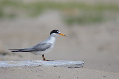 Endangered Least Tern on Driftwood (Natty Abrahams) Tags: leasttern bird birds tern nature wildlife wild animal birding seabird