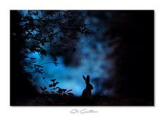 .. (Gil Gautier @GilGPhotographie) Tags: gilgphotographie gilgautier nikon d4s 300mm rabbit livre nature wild isere france