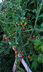 My Cherry Tomatoes (jeslu) Tags: my cherry tomatoes sigma 1224mm hsm dg d700