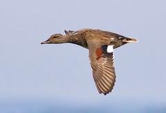RSPB Hamwall Aug 2016 004 (Doyleecart Photography) Tags: duck flight mendip westcountry somerset england rspb hamwall doyleecart blue action movement wild nature bbcsummerwatch ngs canon7dmkii