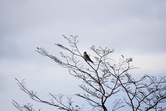 Cernícalo (Falco tinnunculus) (David A. Vásquez Stuardo) Tags: birds avesdechile aves wild patagonia loica cernicalo sur