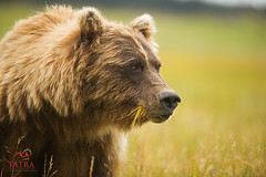 Grizzly Bear female portrait (Tatra Photography) Tags: grizzlybear ursusarctushorribilis brownbear female feeding hungry grazing grass sedgemeadow sedge relaxed confiding apexpredator predator overcast closeup headandshoulders