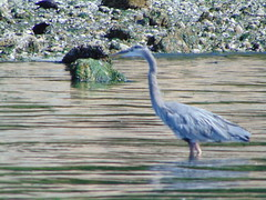 Great-blue Heron (TamaulipasDump) Tags: flushed by people over flock gulls wa
