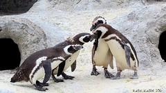 Aug. 15-16 (414) The Greeting - Magellanic Penguins (KatieKal) Tags: penguin magellanicpenguins canon60d canon70300mmlens goup greeting