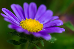 M comme Marguerite  HMM! (m@t.) Tags: flower mauve daisy macromondays macro thefirstletterofmyname