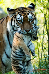 Sibirian Tiger (Panthera tigris altaica) (Thoober) Tags: duisburg tiere zoo animals tiger child cat anial teeth stripes canon eos 70d 150600