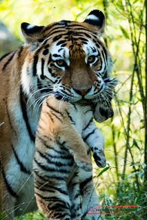 Sibirian Tiger (Panthera tigris altaica)