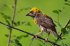 Baya Weaver, right off shower (Ram Sundararaman) Tags: bayaweaver baya ploceusphilippinus ploceus indianbirds birdphotography birds naturephotography nature ramsundararaman udaipur rajasthan india