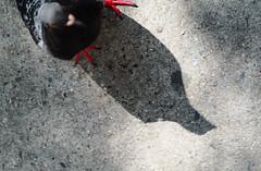 OSP00314 (howardzhang100) Tags:  city olympus newyork outdoor  bird pigeons color street