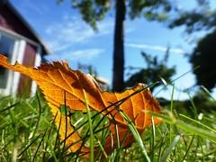 Autumn is coming..... (tvedepigen) Tags: colorful beautiful summerhouse summer denmark copenhagen august grass nature autumn leaves garden
