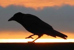 Carrion Crow Straddles the Sunrise (chdphd) Tags: corvuscorone corvus carrioncrow carrion crow aberdeenshire stonehaven kincardineshire