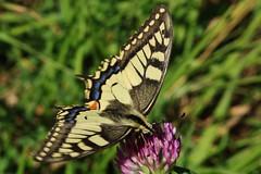 Schwalbenschwanz (Hugo von Schreck) Tags: papiliomachaon schwalbenschwanz hugovonschreck butterfly macro makro insect insekt outdoor schmetterling swallowtail canoneos5dsr tamronsp90mmf28divcusdmacro11f017 onlythebestofnature buzznbugz